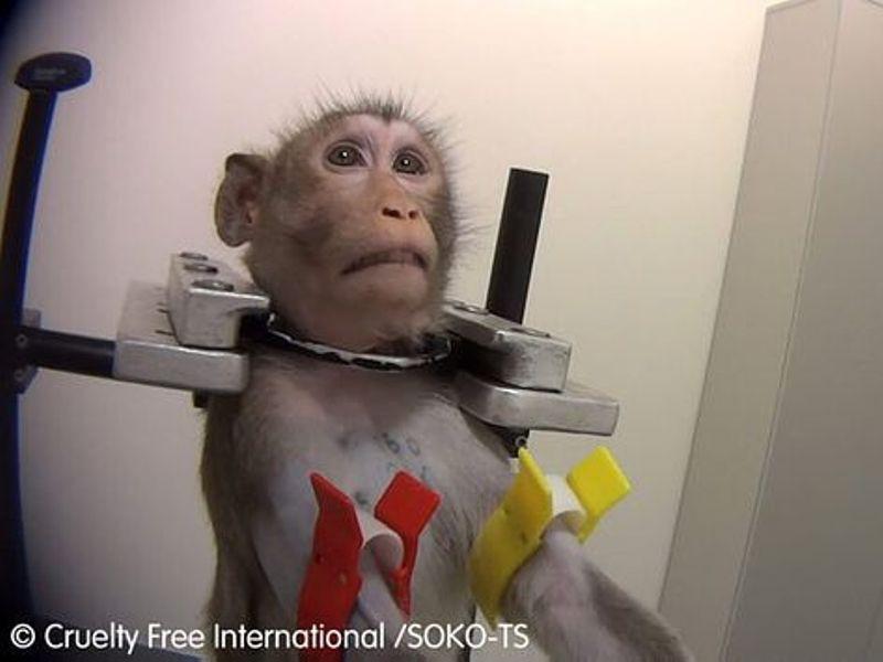 Małpa z laboratorium, uwięziona